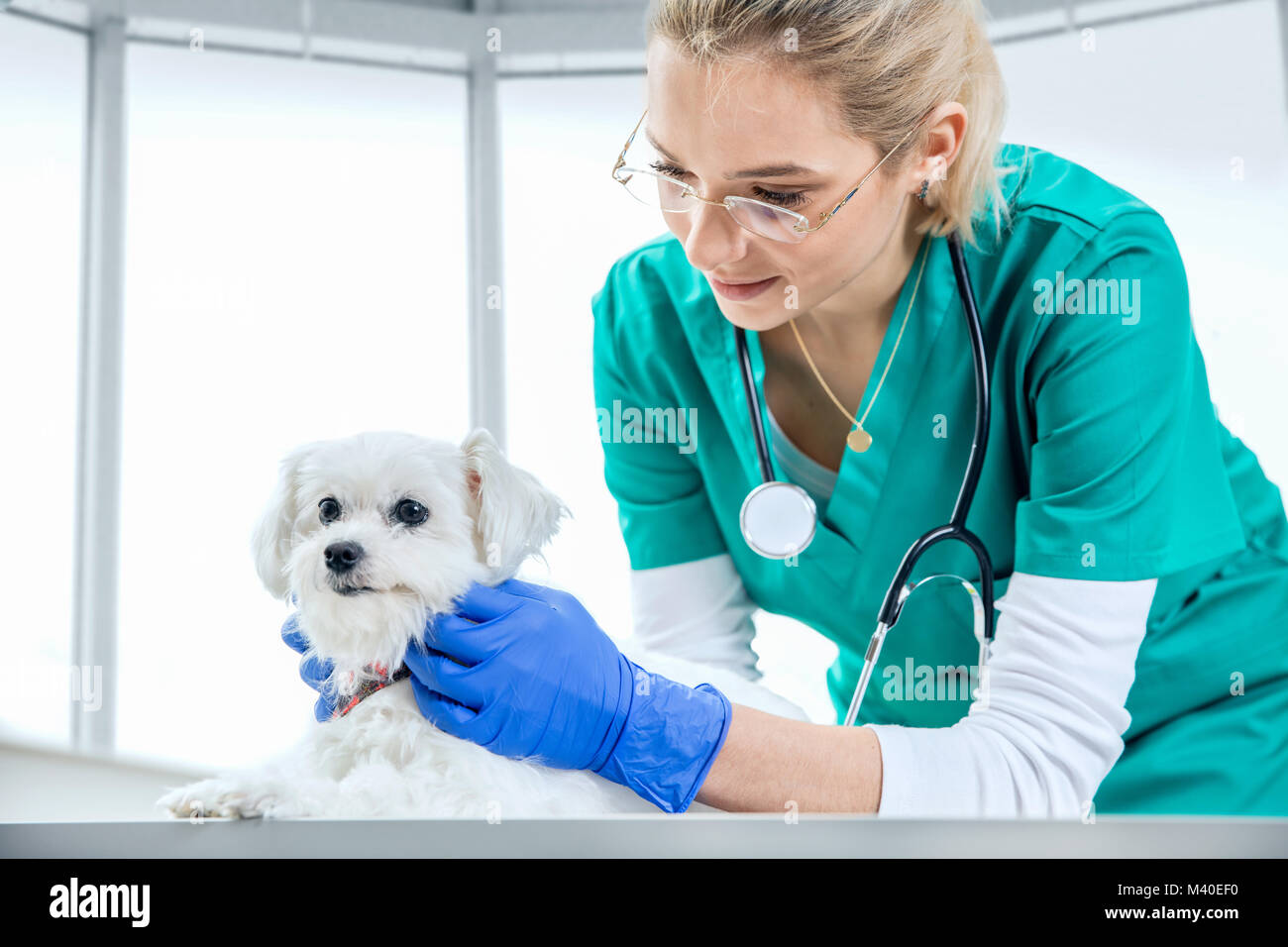 Female vet examines the fur of a dog - Stock Image