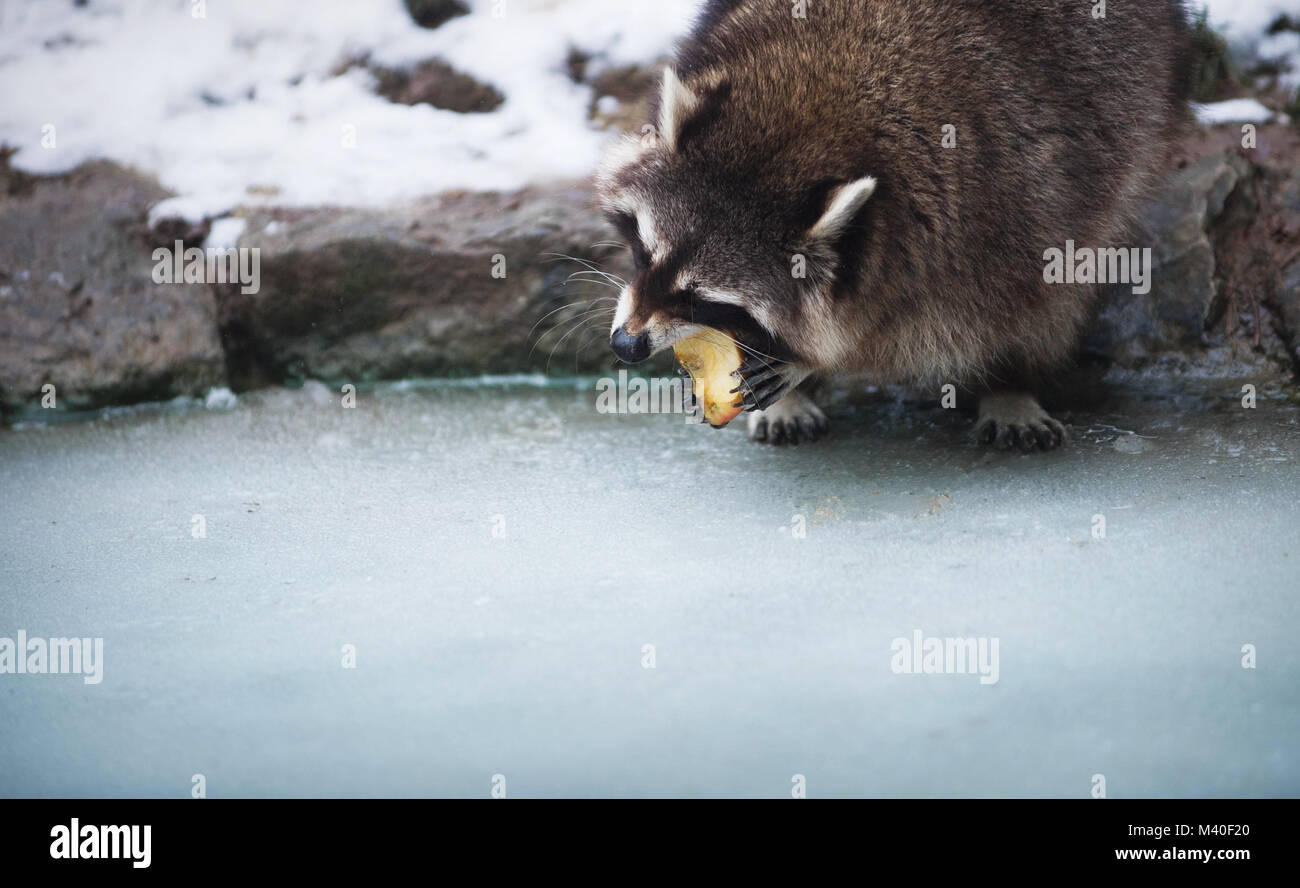 Racoon Eating An Apple Standing On The Ice