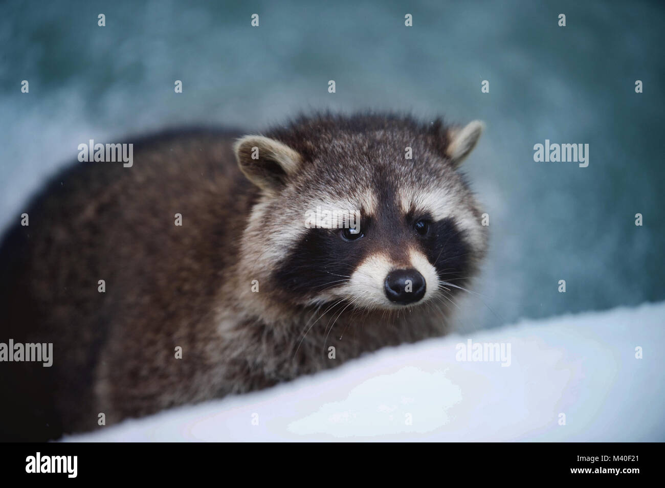 Portrait of Racoon. Low depth of field, Sharp Eyes, Blurred Blue Background. - Stock Image