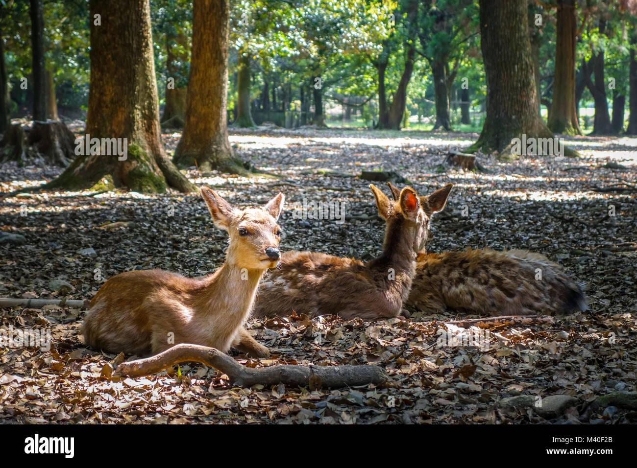 Sacred Sika deers Nara Park forest, Japan - Stock Image