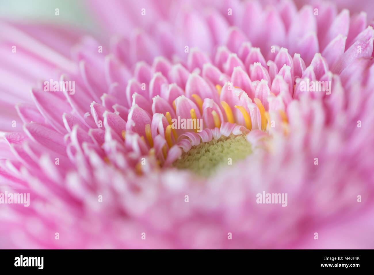 Closeup of center of pink Gerbera Daisy, oblique view - Stock Image