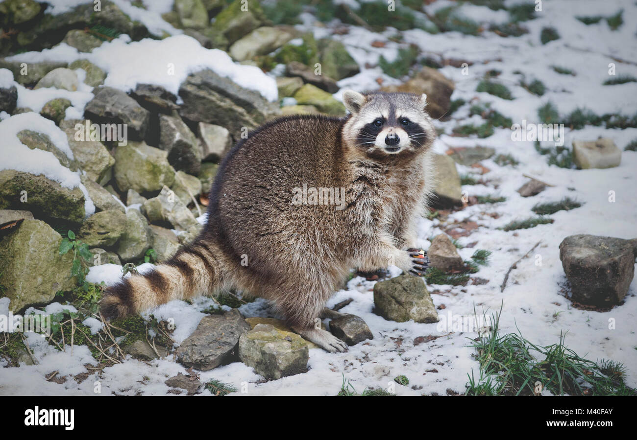 Portrait of Racoon Eating an Apple. Low depth of field, Sharp Eyes, Blurred Blue Background, Snow and Stones. Looking - Stock Image
