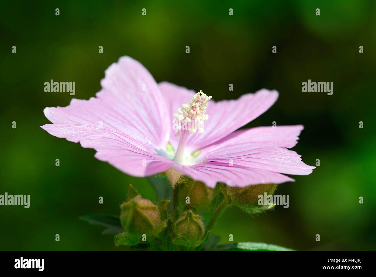 Rose mallow (Malva alcea), Rosen-Malve (Malva alcea) Stock Photo