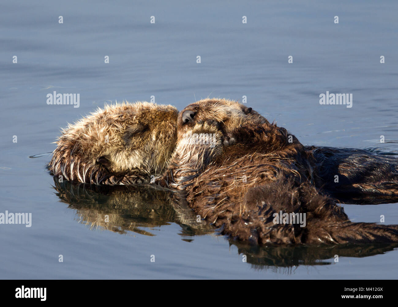 Sea Otter Adult and Pup - Stock Image