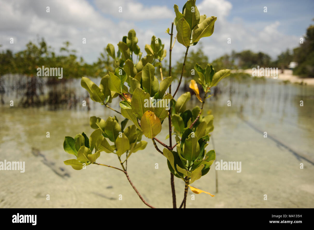 Mangroves grow on Funafala which is an islet of Funafuti in Tuvalu - Stock Image