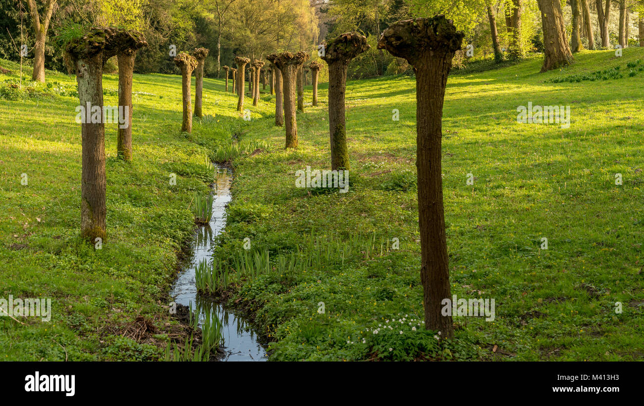 Pruned trees next to a stream in the park at the Wasserschloss Wittringen, Gladbeck, North Rhine-Westphalia, Germany - Stock Image