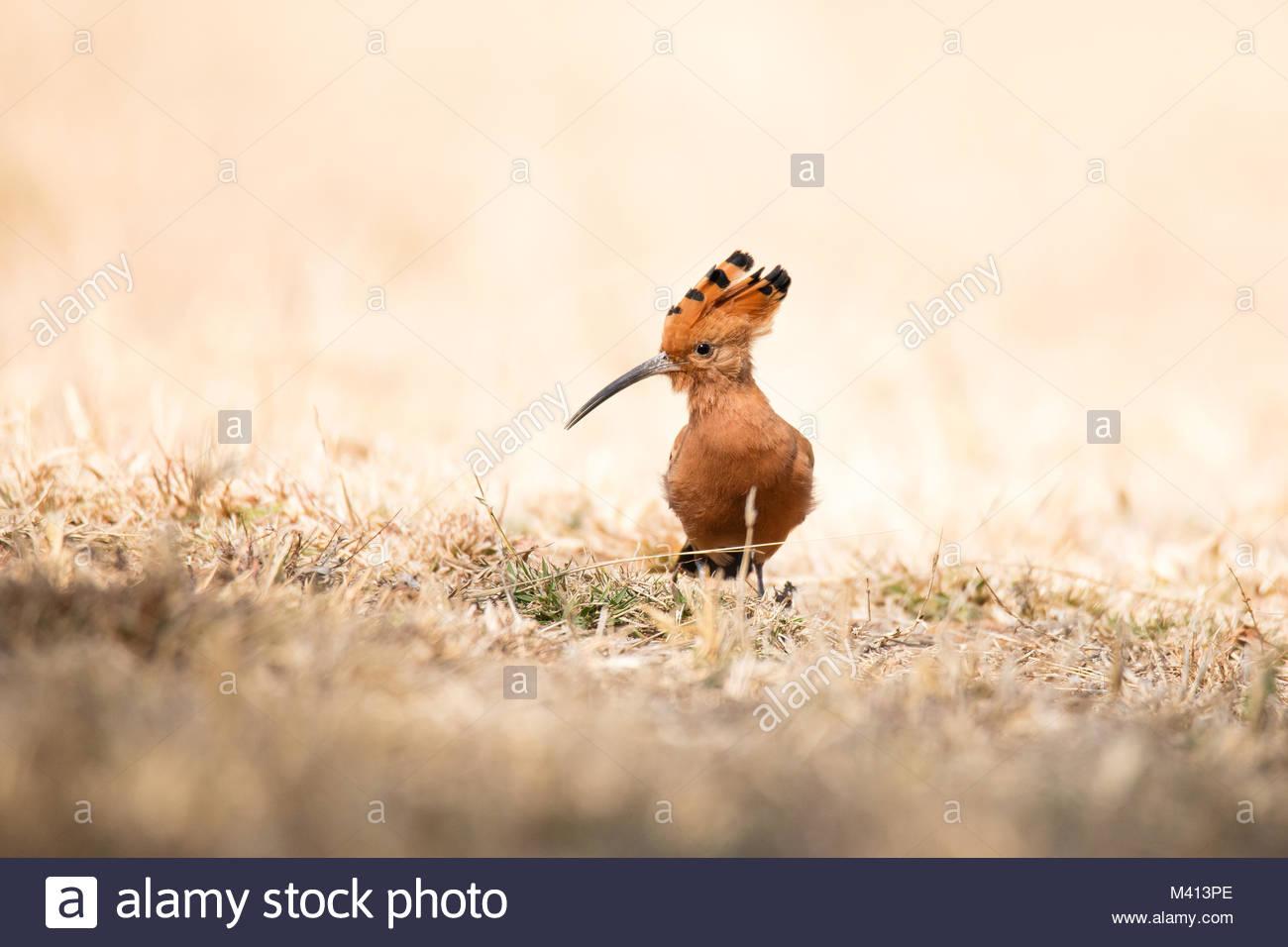 Afrikanischer Wiedehopf - Stock Image