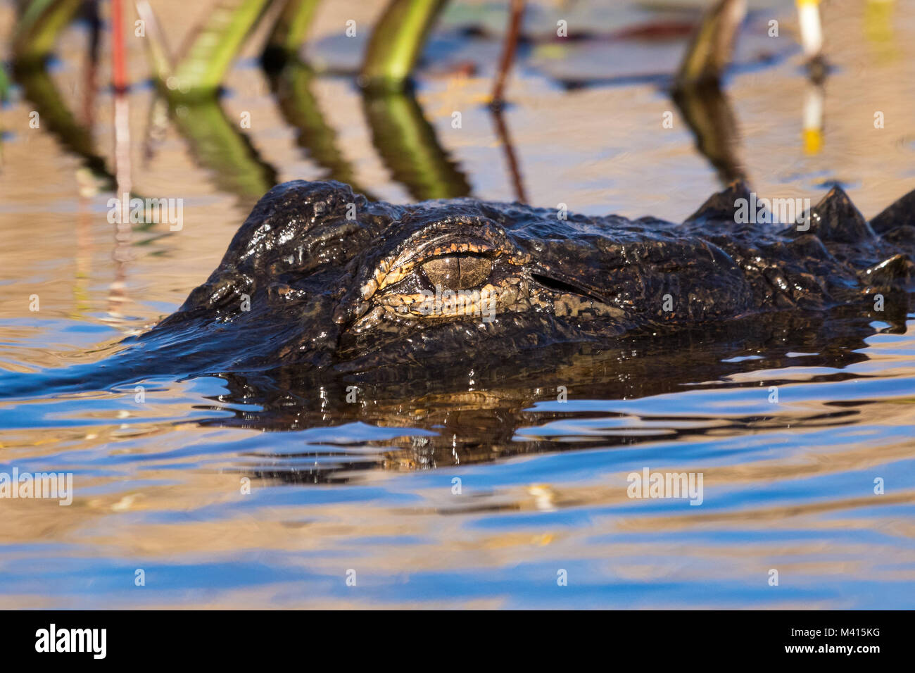 An American alligator (Alligator mississippiensis) laying low in the swamp. - Stock Image