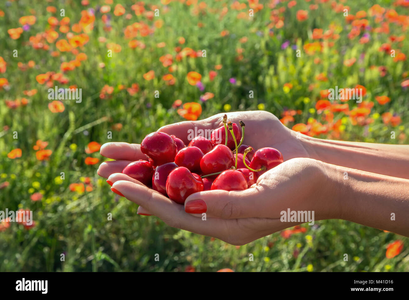 A handful of juicy berries cherries outstretched in women's hands - Stock Image