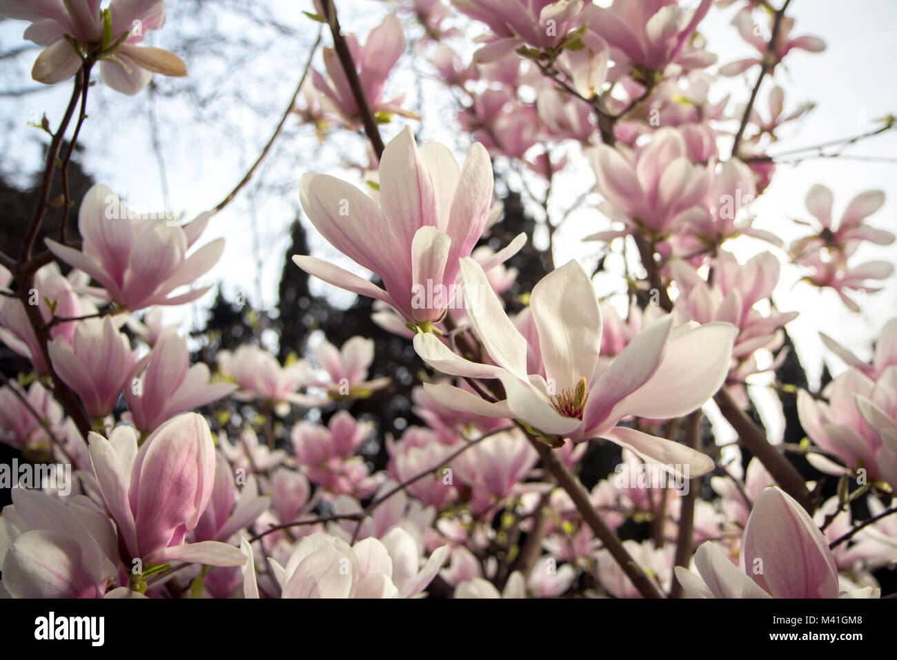 Tree Petals Stock Photos Tree Petals Stock Images Alamy