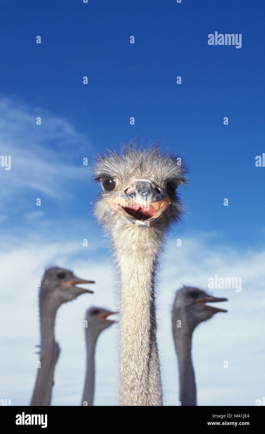 South Africa. Oudshoorn. Little Karoo. Bird. Ostriches at farm. Stock Photo