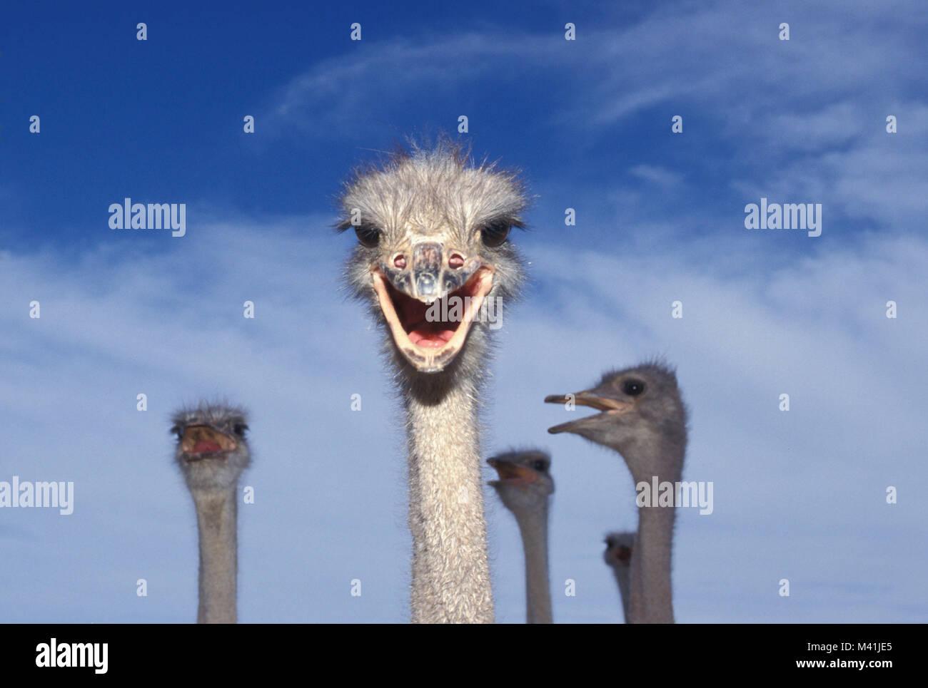 South Africa. Oudshoorn. Little Karoo. Bird. Ostriches at farm. Stock Photo