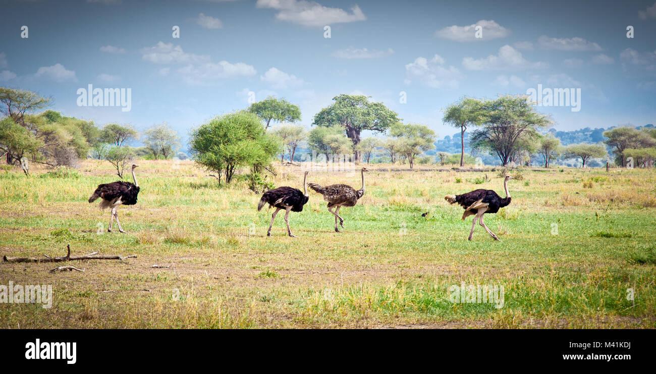 Flock of ostriches run across the Tanzanian savanna, Africa. - Stock Image