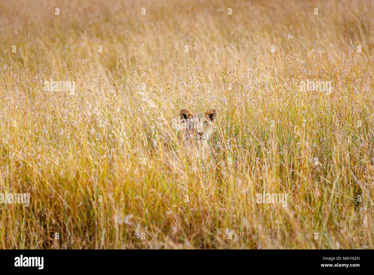 Big 5 apex predator hunting: Stealthy lioness (Panthera leo) concealed in long grass with an intense gaze stalking - Stock Image