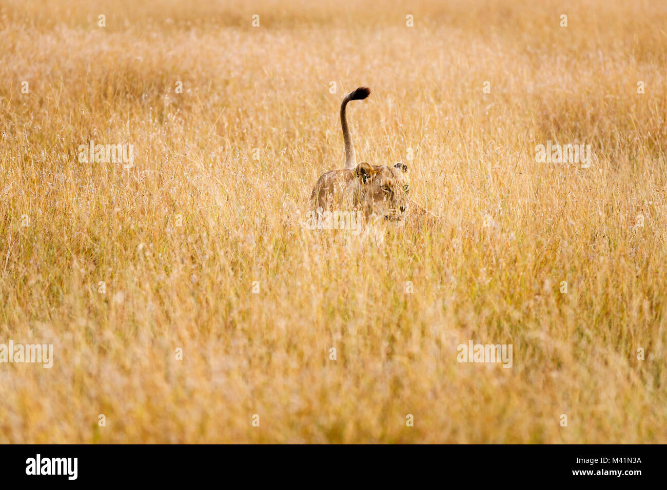 Big 5 apex predator hunting: Stealthy lioness (Panthera leo) with raised tail prowling in long grass stalking prey, - Stock Image