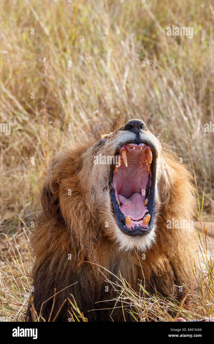 Big 5: Male Mara lion (Panthero leo) yawning, mouth wide open showing pink tongue and fearsome canine teeth (lower - Stock Image
