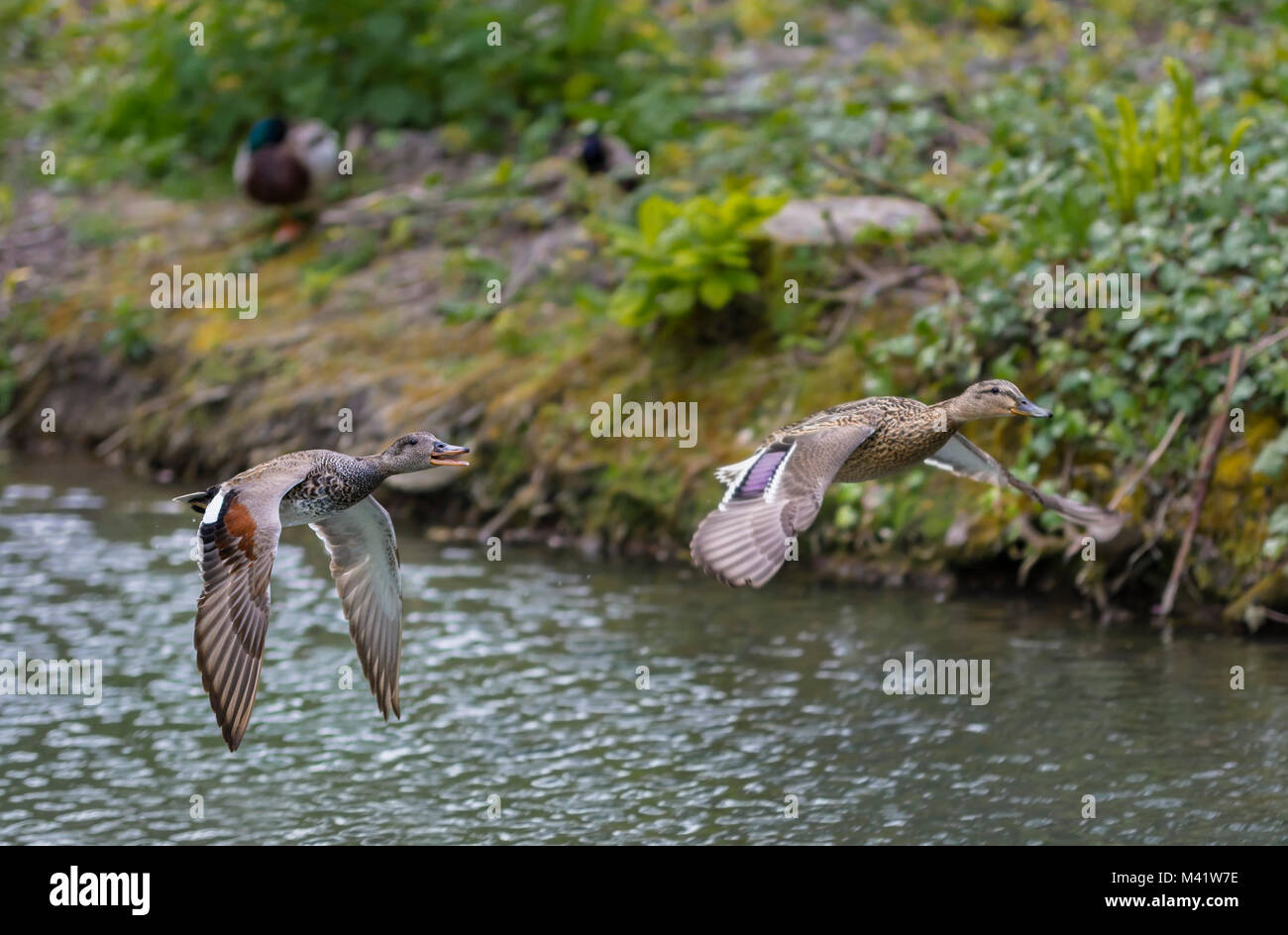 Drake and Hen couple of Gadwall Ducks (Anas strepera) flying low over water in Spring in West Sussex, England, UK. - Stock Image