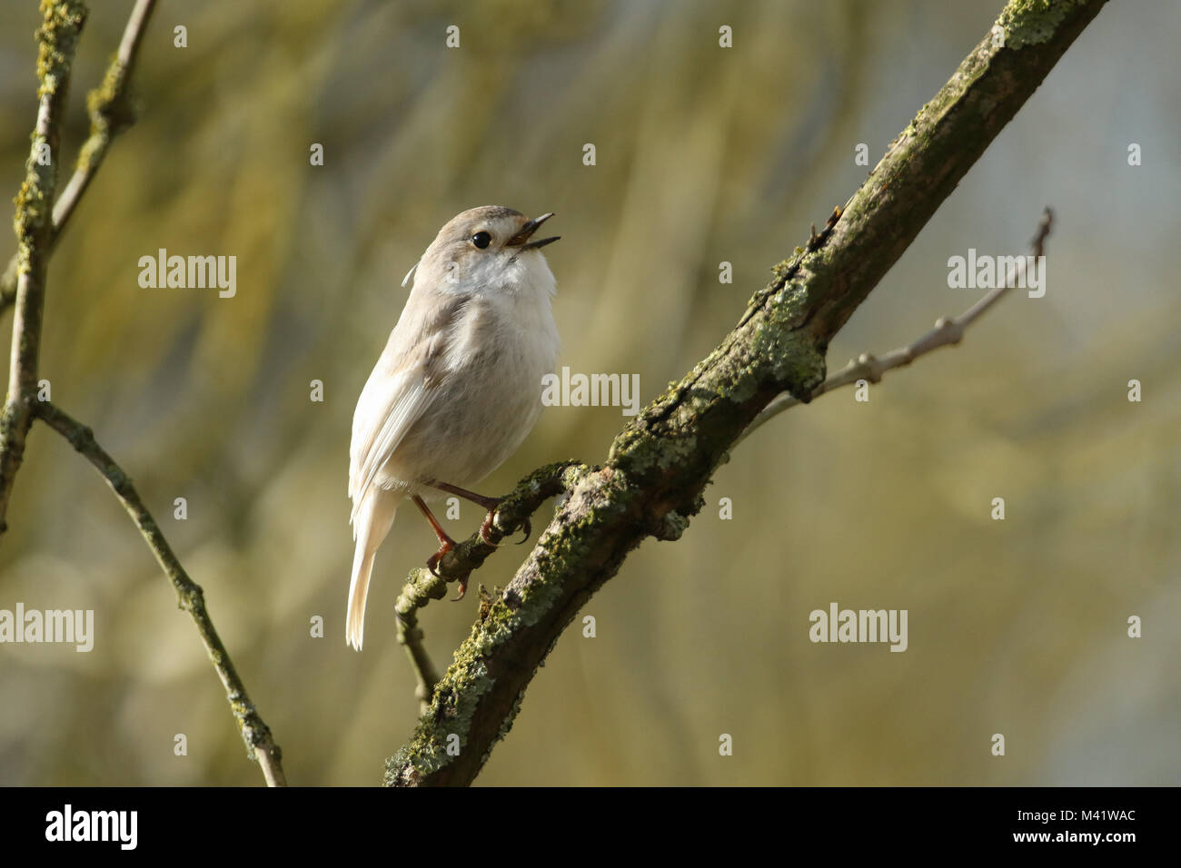 A rare Leucistic Robin (Erithacus rubecula) perched and singing on a branch in a tree. - Stock Image