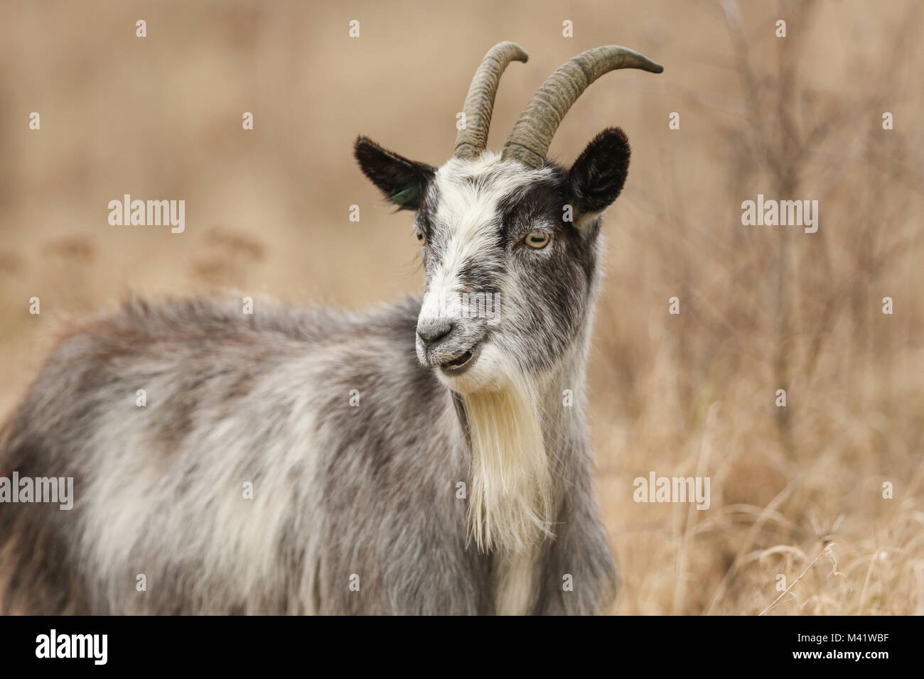 A head and shoulder shot of Goat (Capra aegagrus hircus) grazing in rough pasture. Stock Photo