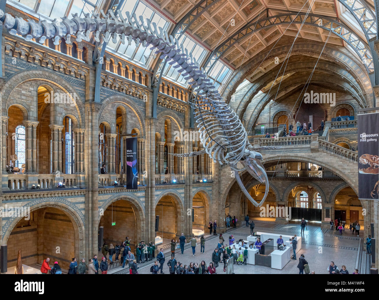 Blue whale skeleton in Hintze Hall, Natural History Museum, South Kensington, London, England, UK - Stock Image