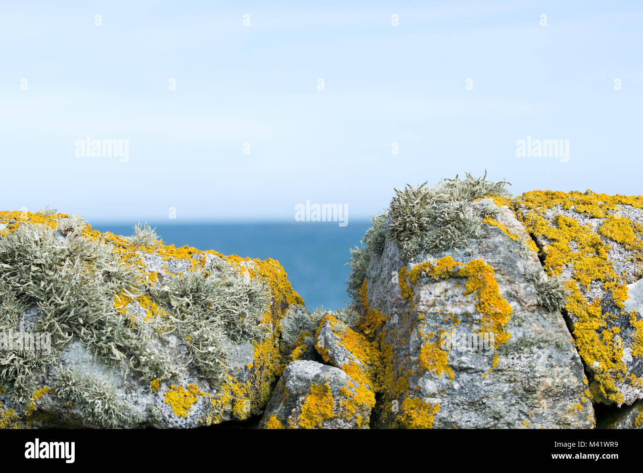 Lichen and moss (Sea Ivory lichen) covered stone walls - Stock Image