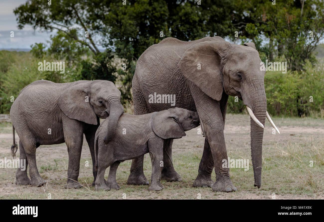 Elephant Family group - Stock Image