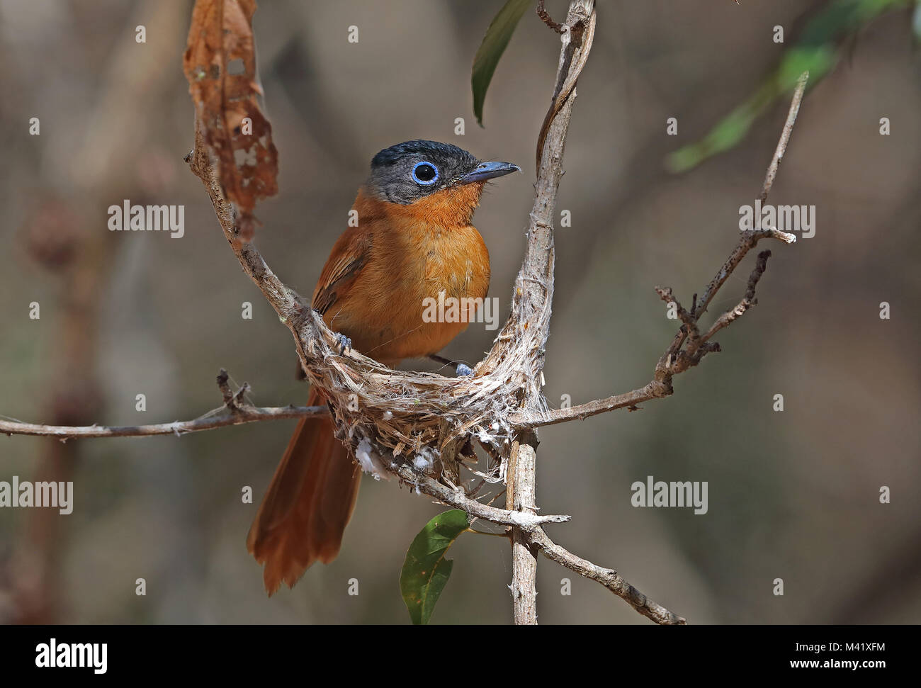 Madagascar Paradise-flycatcher (Terpsiphone mutata singetra) adult female building nest, Madagascan endemic  Analamazaotra, Stock Photo
