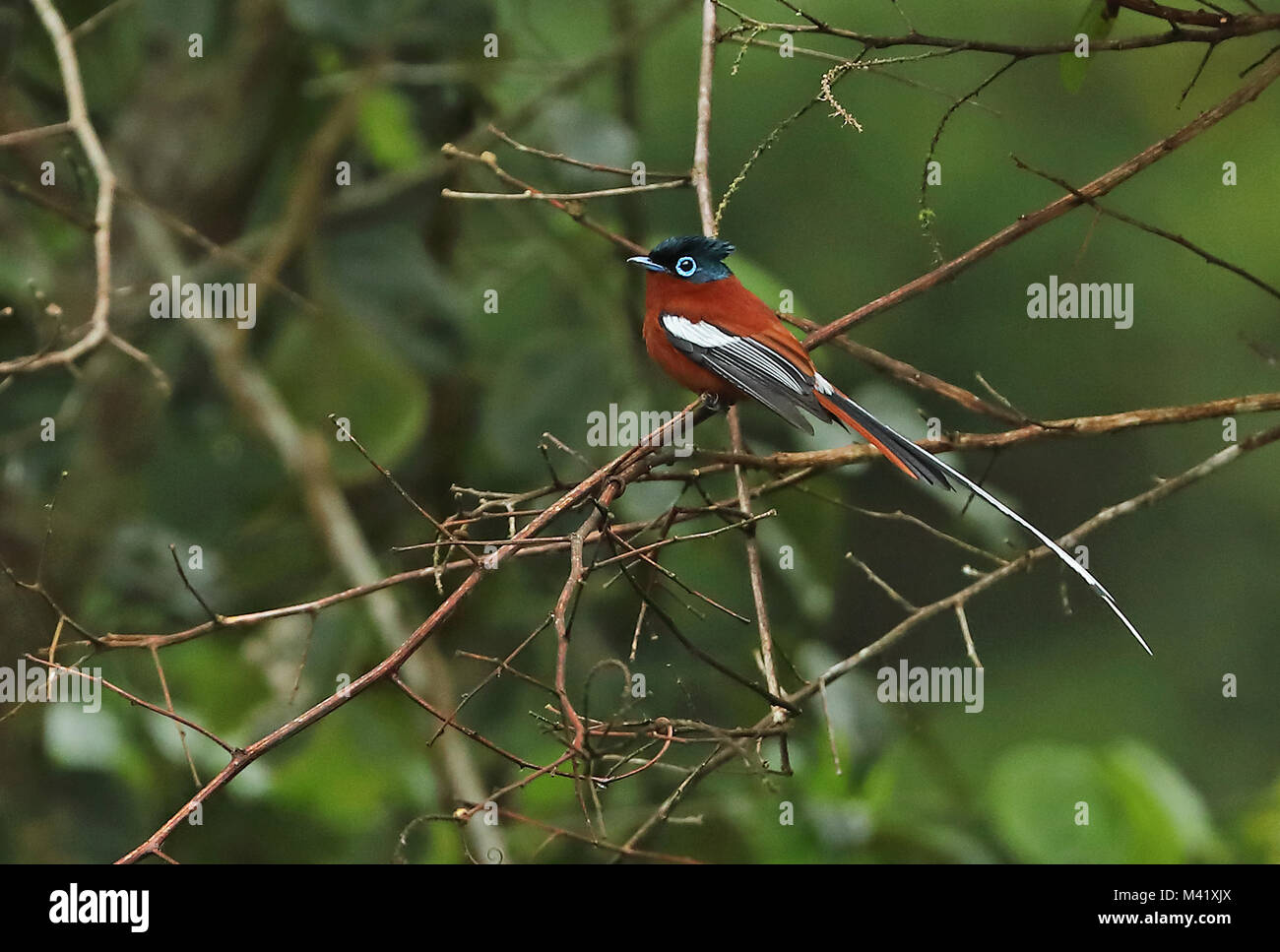 Madagascar Paradise-flycatcher (Terpsiphone mutata mutata) rufous morph adult male perched on branch, Madagascan Stock Photo
