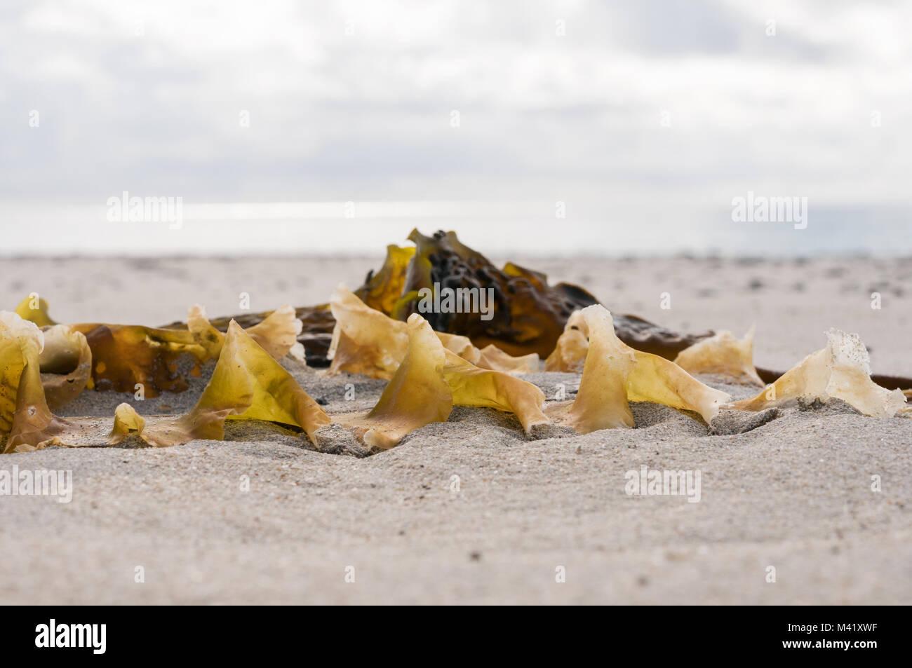 Seaweed on the beach - Stock Image