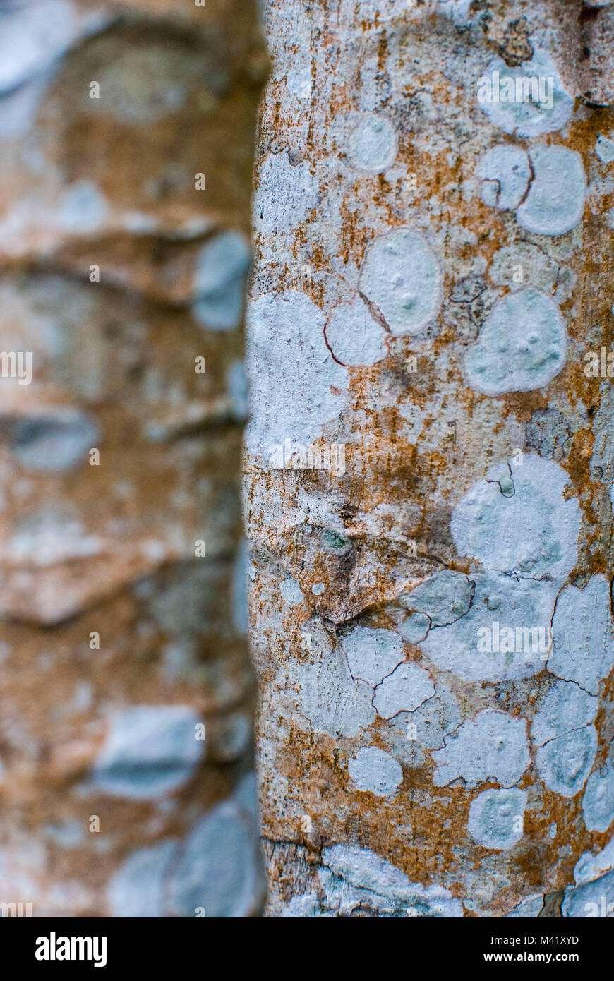 A closeup photo showing the textured detail of the bark of two tree trunks Stock Photo