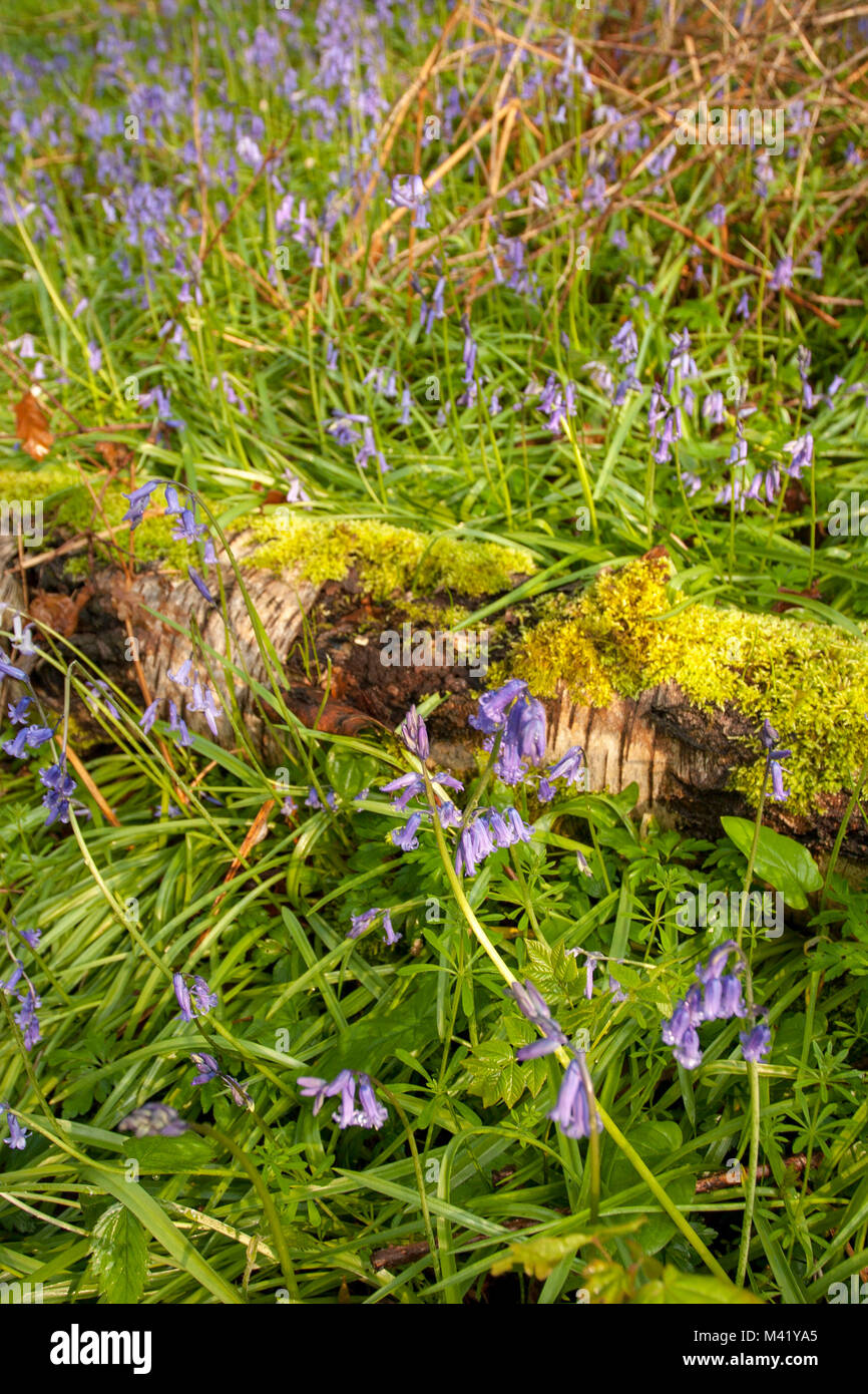 Bluebells with moss covered wood in Kent woodland - Stock Image