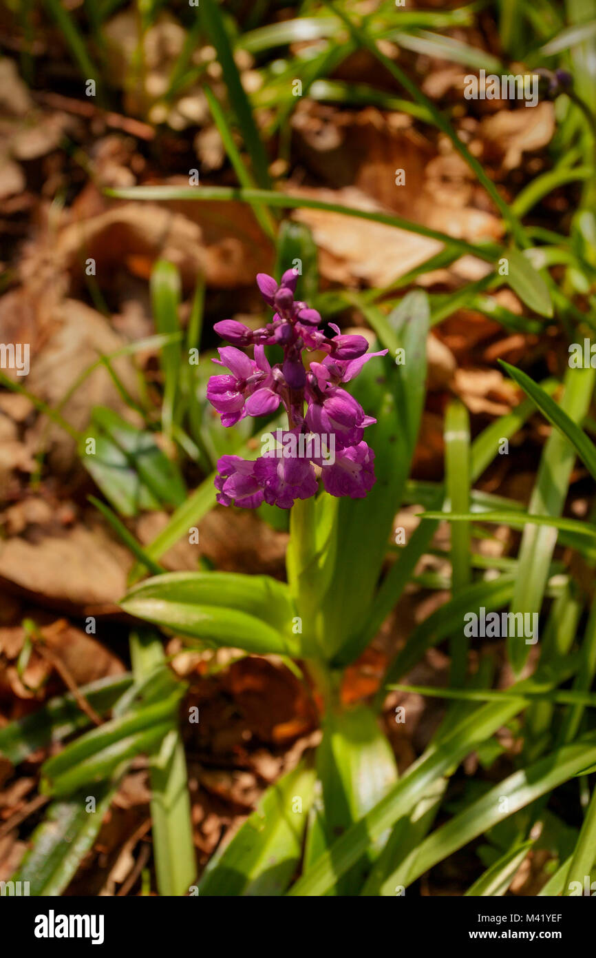 Wild orchid in kent woodland, south east England, europe - Stock Image