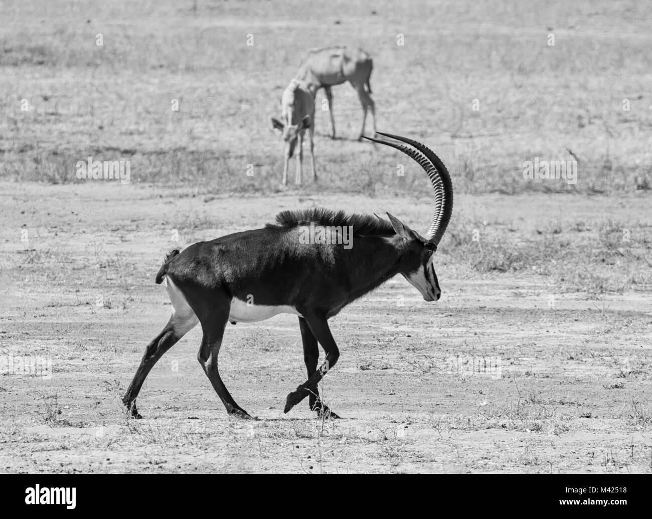 Отодрал как антилопу
