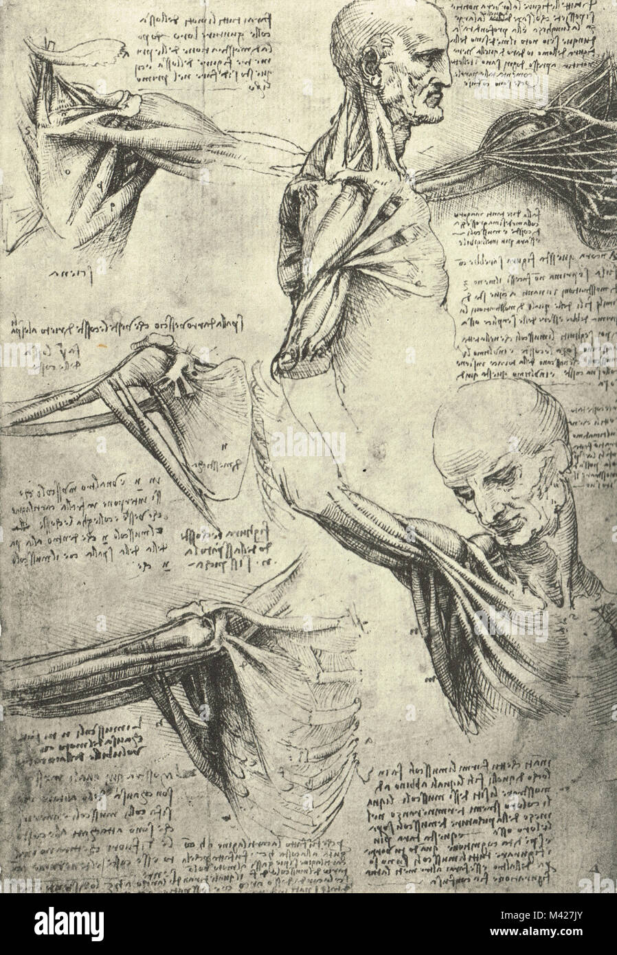 Anatomical drawing, by Leonardo Da Vinci, Man's neck and shoulders, Circa 1510 - Stock Image