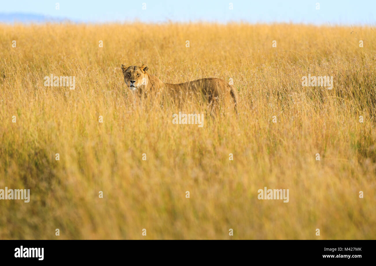 Big 5 Apex predator: Stealthy watchful lioness (Panthera leo) hunting stands alert partially concealed in long grass Stock Photo