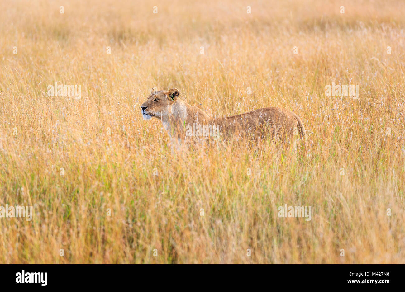 Predator: stealthy watchful lioness (Panthera leo) standing partially concealed in long grass, alert watching for Stock Photo