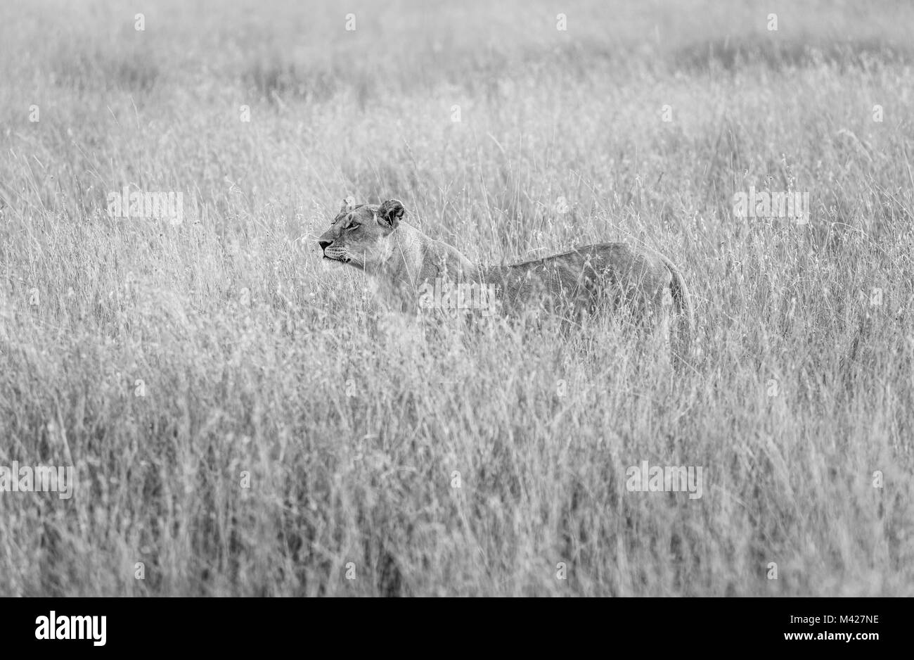 Big 5 predator: Stealthy watchful lioness (Panthera leo) stands partially concealed in long grass, alert and watchful Stock Photo