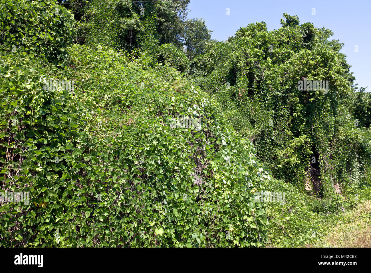 Northwest Arkansas:  The vine that ate the south -- Kudzu -- blankets roadside foliage southwest of Mountain Home. Stock Photo