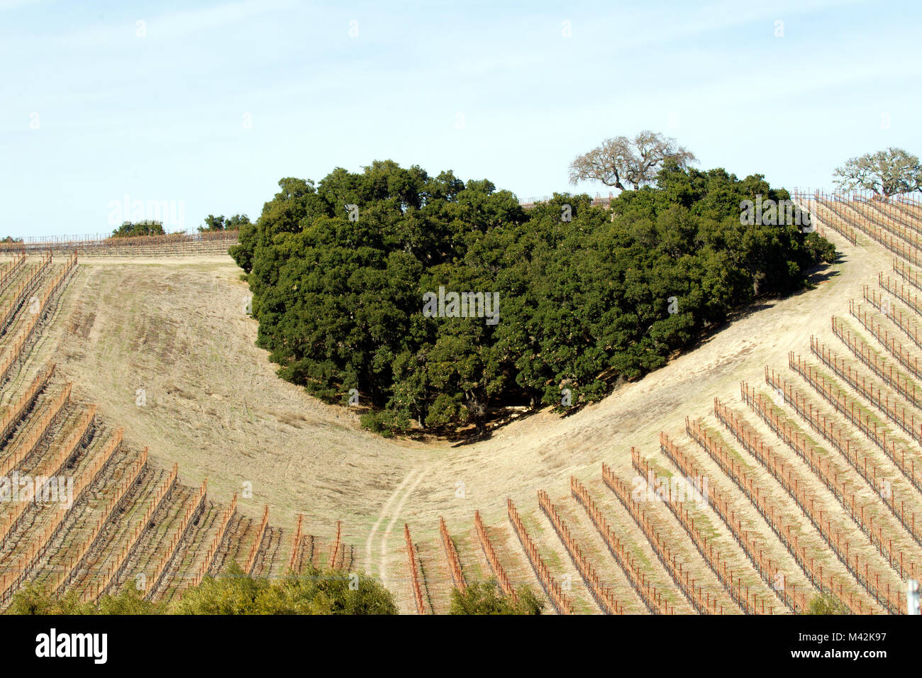Heart Shaped Grove of Trees on Hillside Vineyard Stock Photo