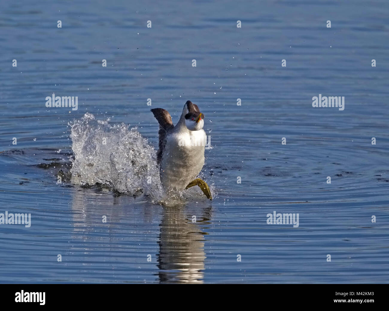 Western Grebe Rushing - Stock Image