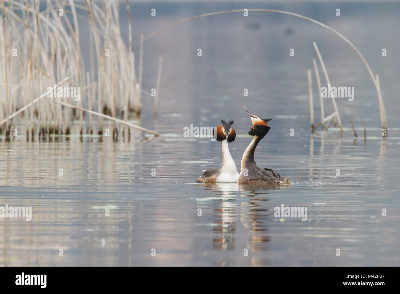 Iseo Lake, Lombardy, Italy. Great crested grebe. - Stock Image