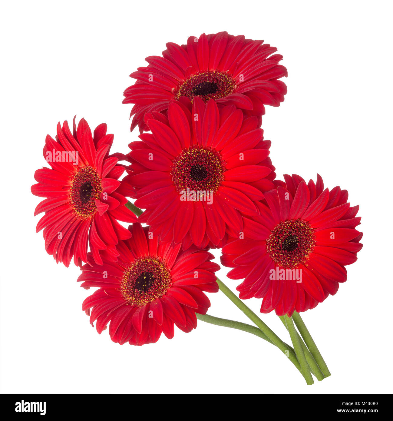 Five red gerbera flowers isolated on white backgrounduquet red five red gerbera flowers isolated on white backgrounduquet red flowers gerbera mightylinksfo