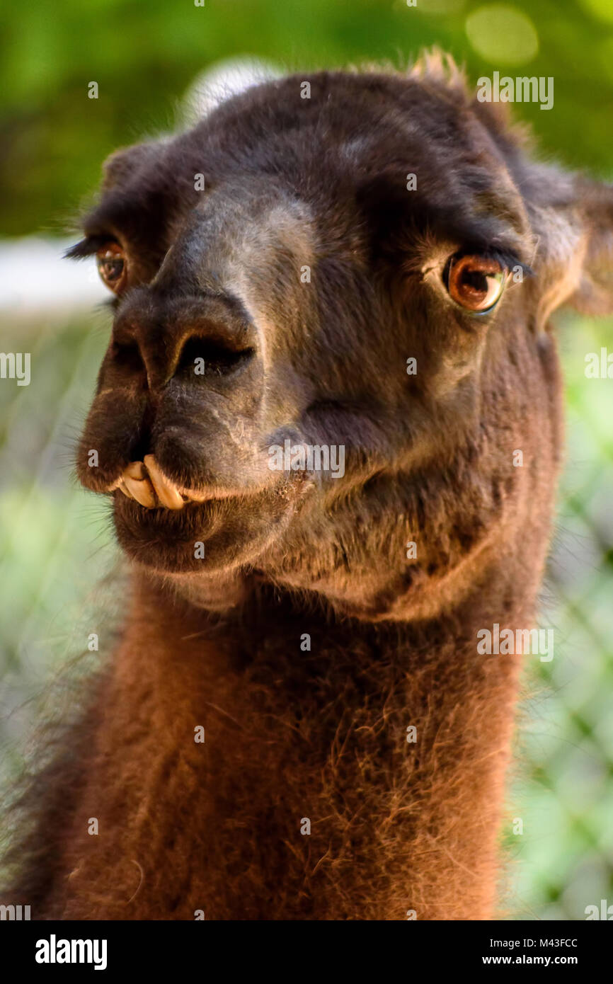 closeup of a funny looking alpaca at a petting zoo with bad teeth Stock Photo