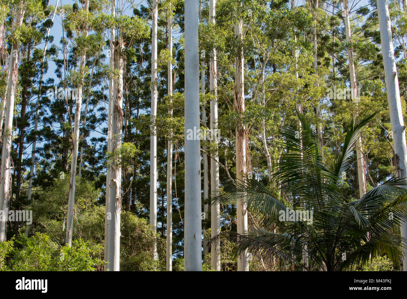 Bush Eucalypt Eucalyptus Stock Photos & Bush Eucalypt