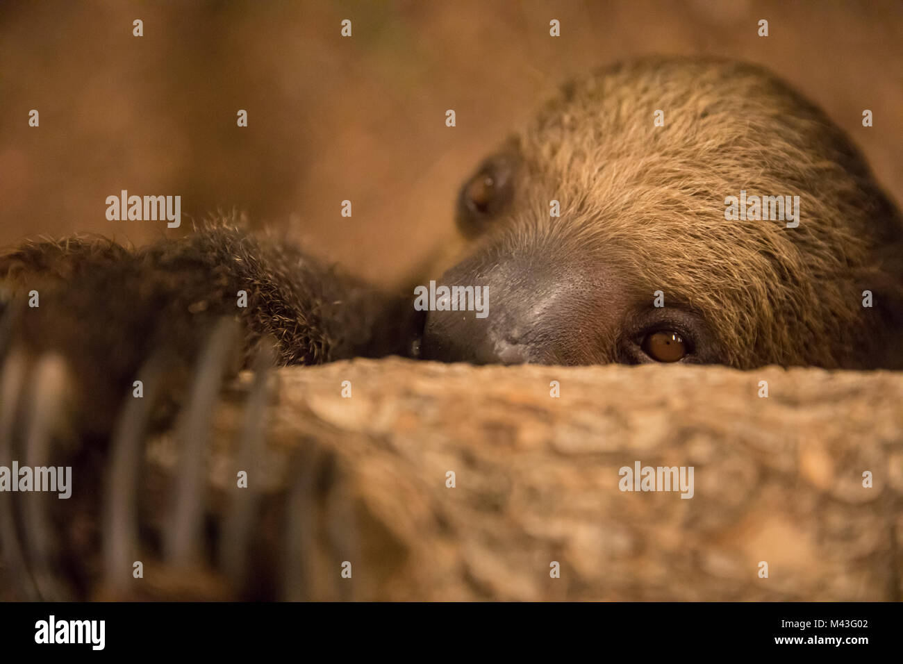 Close-up portrait of a shy Linnaeus's two-toed sloth (Choloepus didactylus). Dubai, UAE. - Stock Image