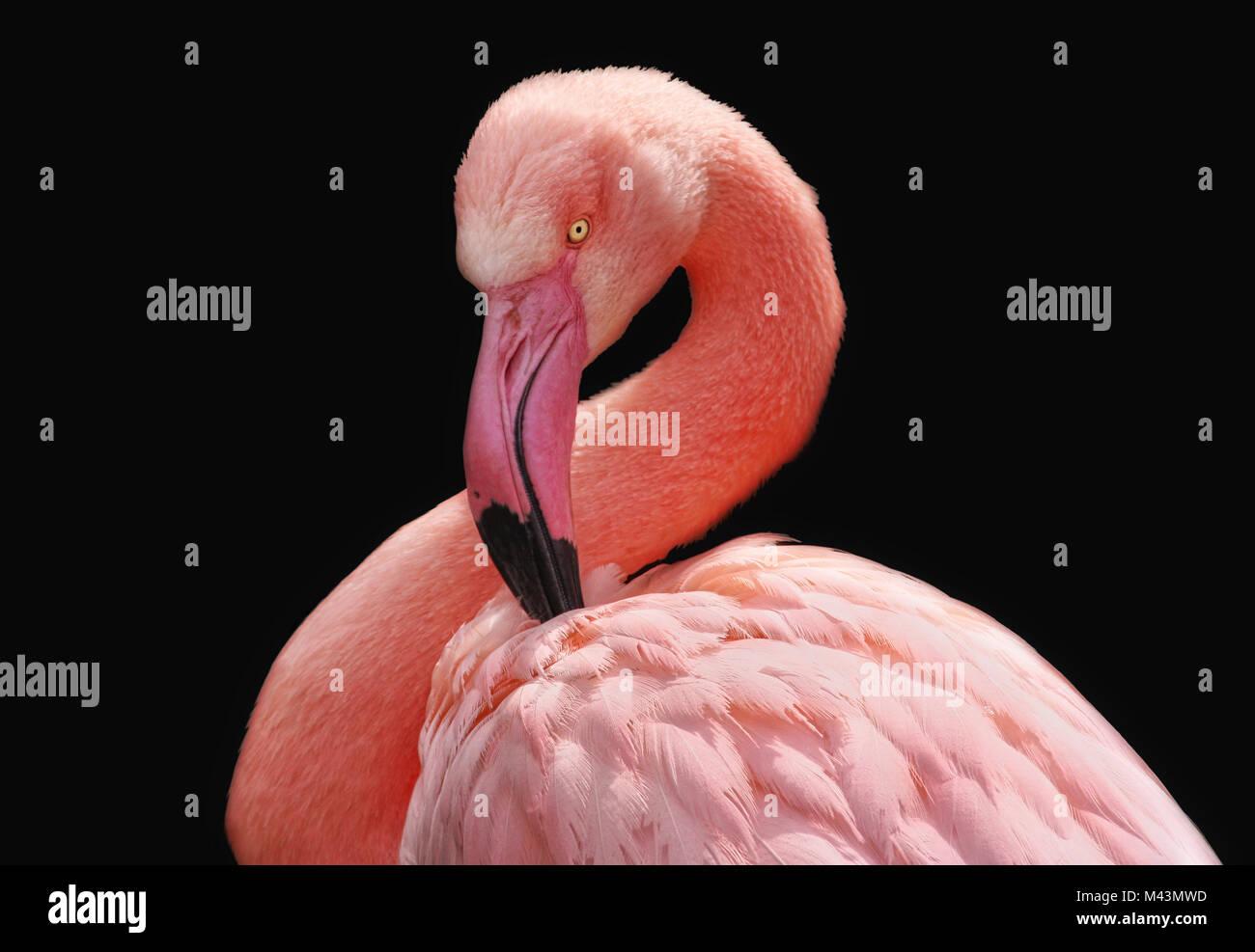 flamingo - Stock Image