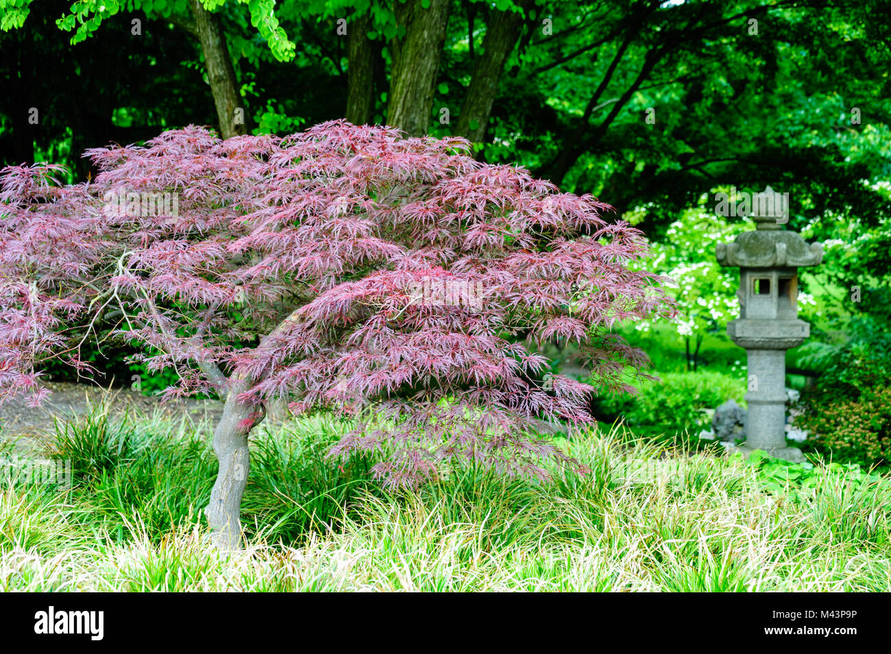 Red Maple in the park Planten un Blomen in Hamburg at daylight, selective focus. Stock Photo