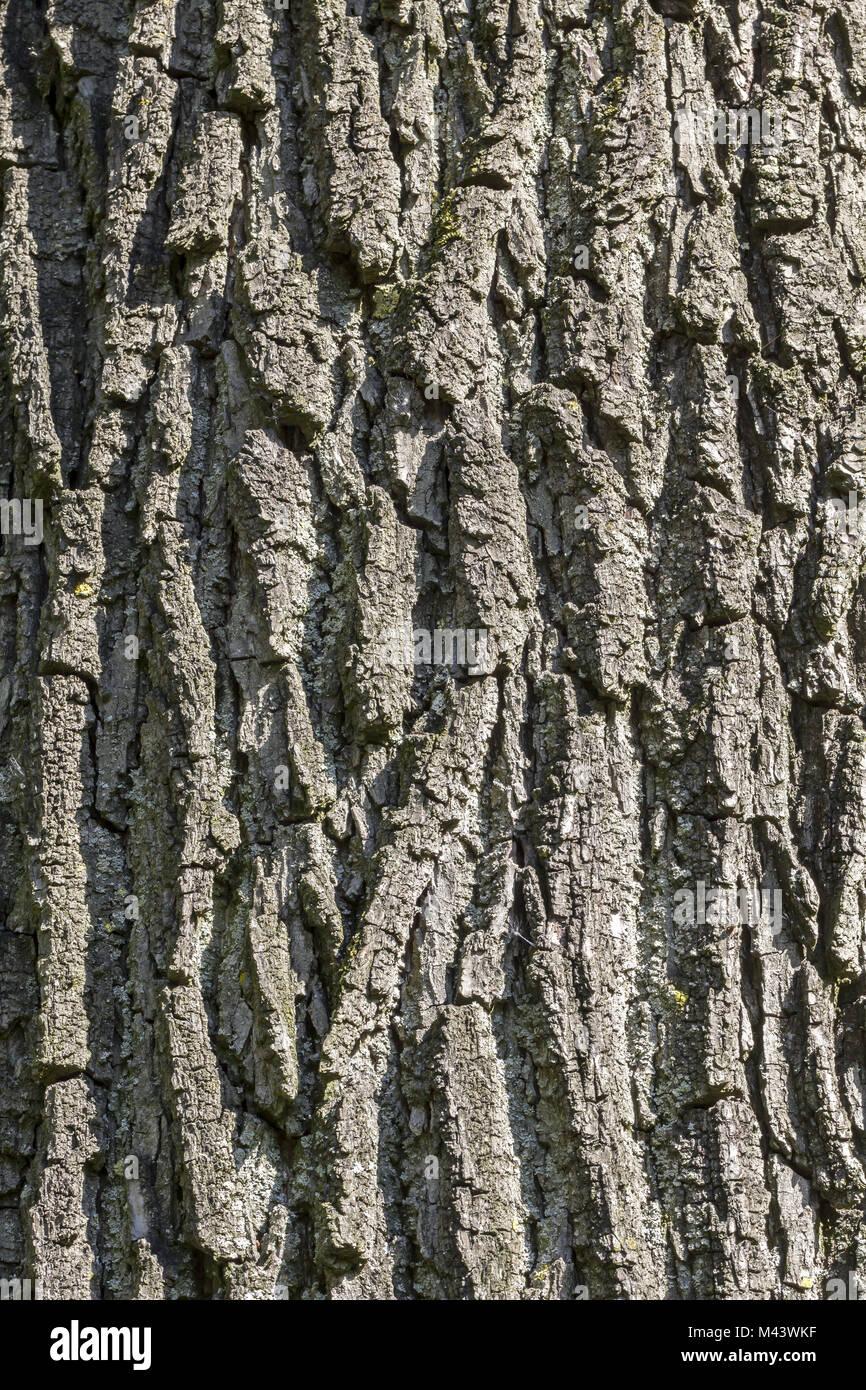 Walnut Tree Bark Stock Photos & Walnut Tree Bark Stock
