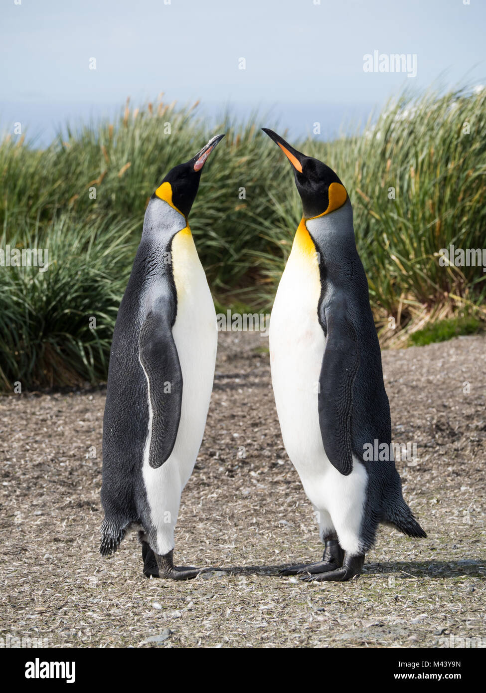 A pair of courting king penguins standing with beaks raised toward the sky. Tussac grass is in the background. Shallow - Stock Image