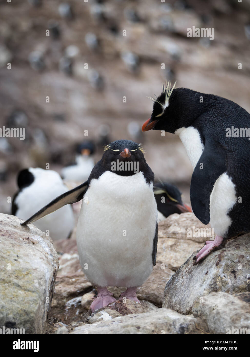 A rockhopper penguin climbing up rocks past a standing rockhopper penguin with pink webbed feet. - Stock Image